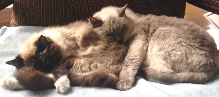 2 Older Ragdoll Cats Sleeping