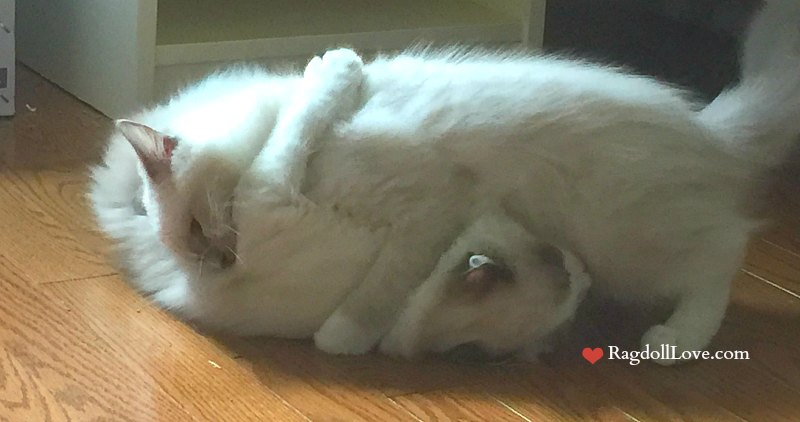 2 Ragdoll Kittens Play Fighting