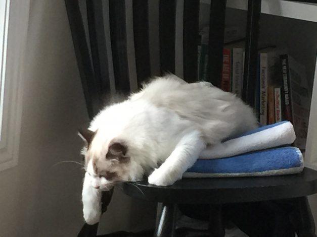 Seal Bicolour Ragdoll Kitten Relaxed on a chair