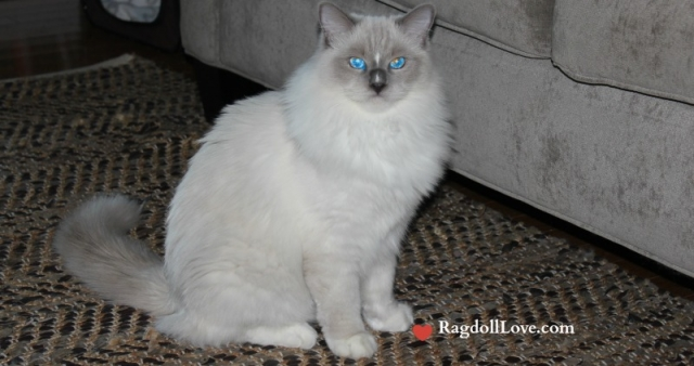 Ragdoll Coat - Duffy 9 months old