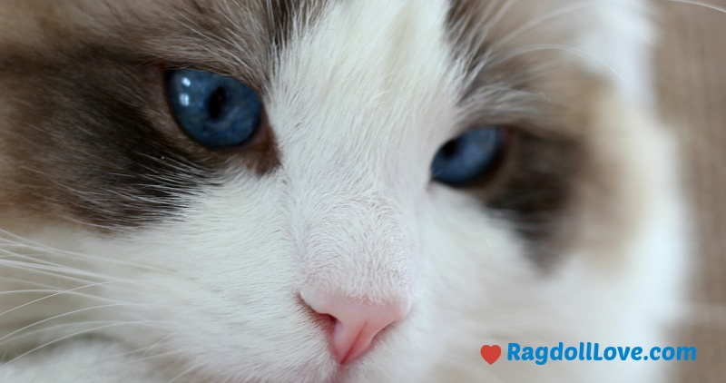 Seal BiColour Ragdoll Kitten Closeup