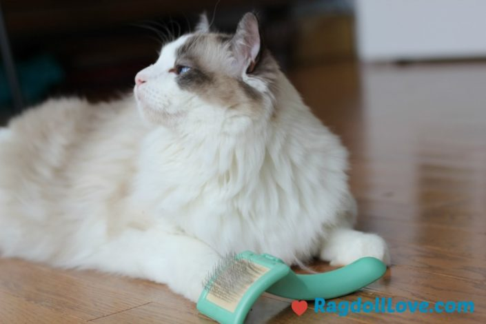 Seal Bicolour Male Ragdoll Kitten with Grooming Brush