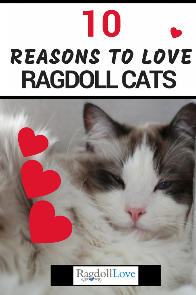 Seal Bicolour Ragdoll Kitten Lying down with hearts around