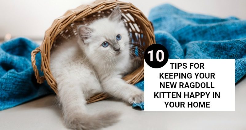 10 TIPS FOR KEEPING YOUR NEW RAGDOLL KITTEN HAPPY IN YOUR HOME