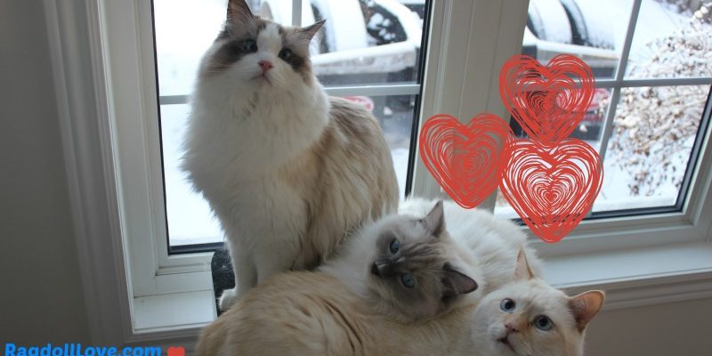 2 Ragdoll kittens and one rescue cat cuddled together
