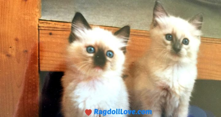 Seal Mitted Female Kitten and Blue Poin Male Ragdoll Kittens