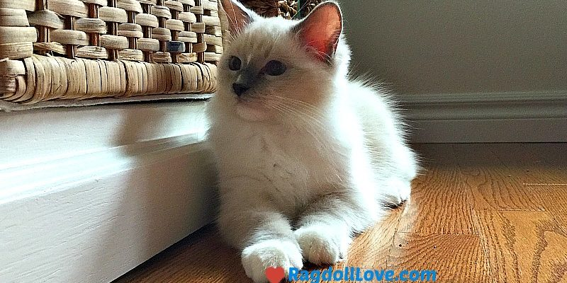 Blue Mitted Ragdoll Kitten with Nose Blaze