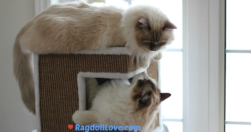 2 Ragdoll Kittens in Cat Tower Looking at One Another