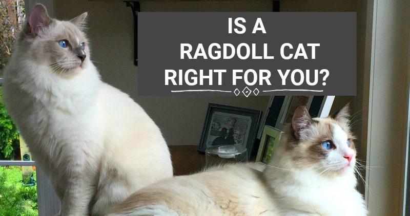 2 RAGDOLL CATS LOOKING PROUD AND STARING OUT A WINDOW