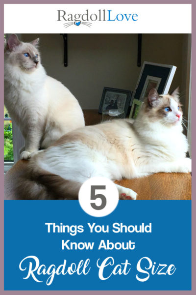5 THINGS YOU SHOULD KNOW ABOUT RAGDOLL CAT SIZE