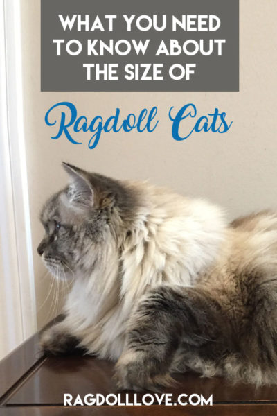 Large Ragdoll cat lying on a table