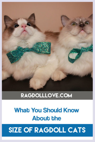 WHAT YOU NEED TO KNOW ABOUT THE SIZE OF RAGDOLL CATS