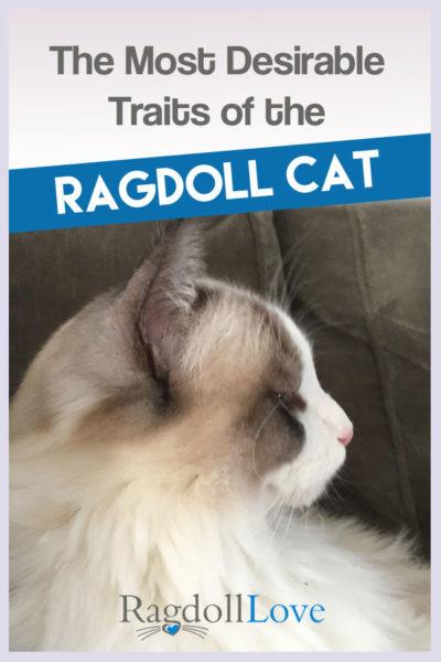 Profile of a Seal Bicolour Ragdoll Kitten