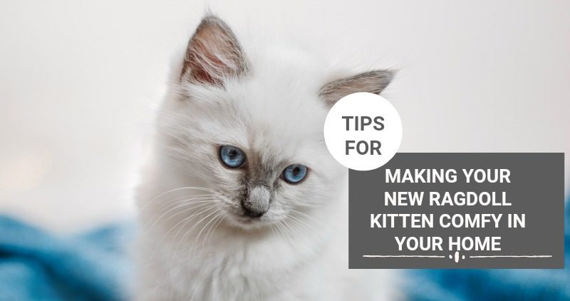 TIPS FOR MAKING YOUR NEW RAGDOLL KITTEN COMFY IN YOUR HOME