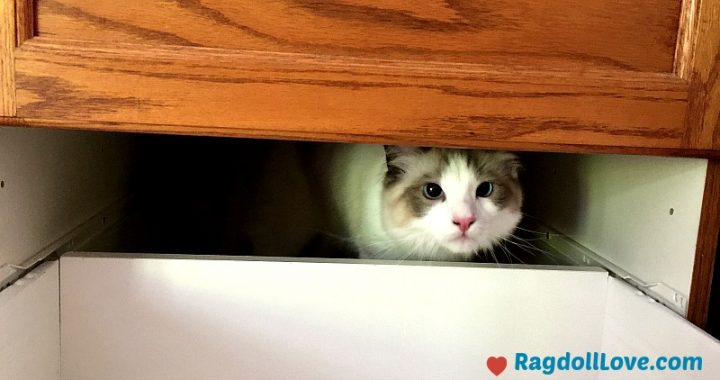 Seal Bicolour Ragdoll Kitten Peeking out From Cupboard