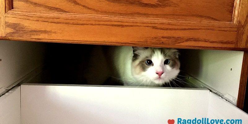Seal Bicolour Ragdoll Kitten Peeking out From Cupboard