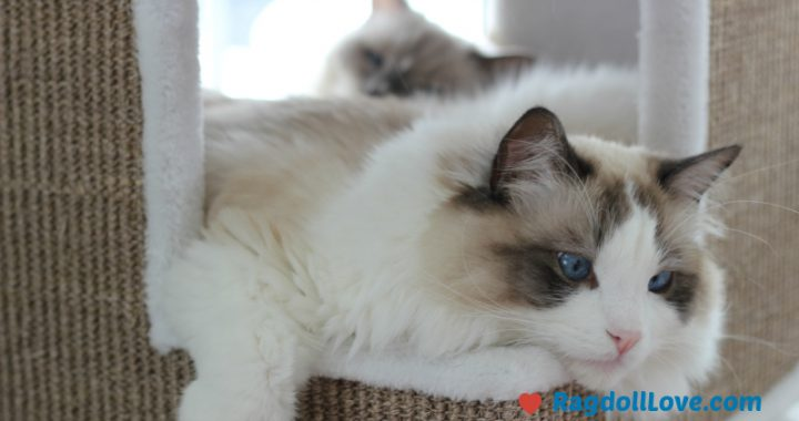 Large Male Ragdoll Kitten in Climber