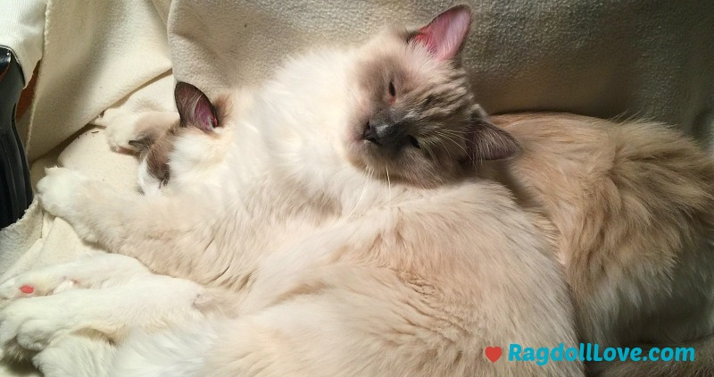 2 Ragdoll Kittens cuddling on a chair