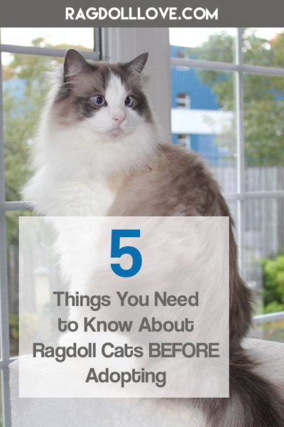 Seal Bicolour Ragdoll Cat with Wide Big Eyes Staring - 5 Things You Need to Know About Ragdoll Cats Before Adopting