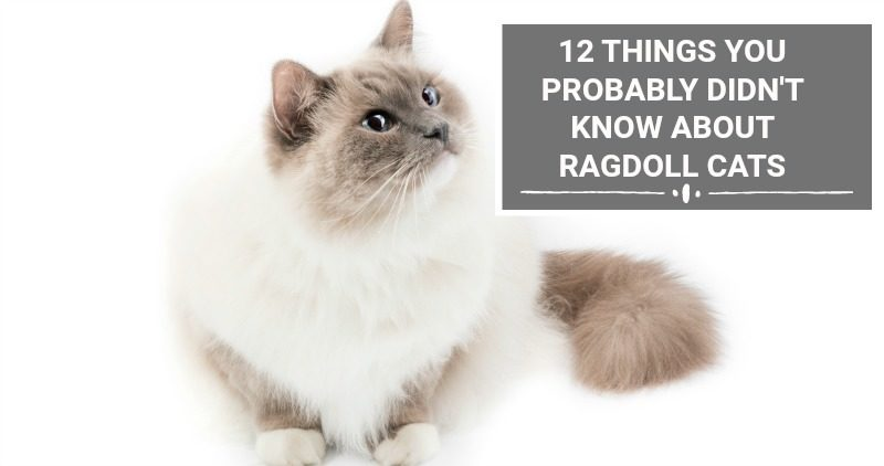 12 THINGS YOU PROBABLY DIDN'T KNOW ABOUT RAGDOLL CATS