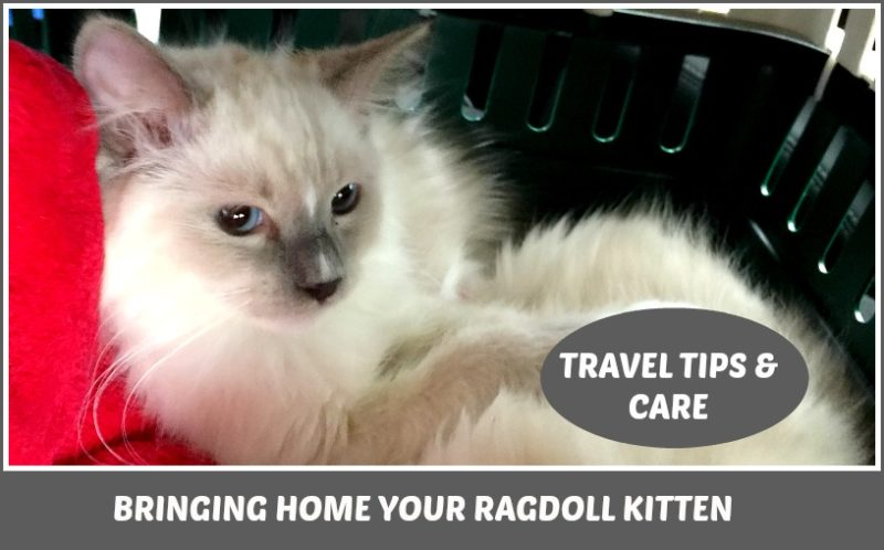 Ragdoll kitten chilling in his cage for a car ride