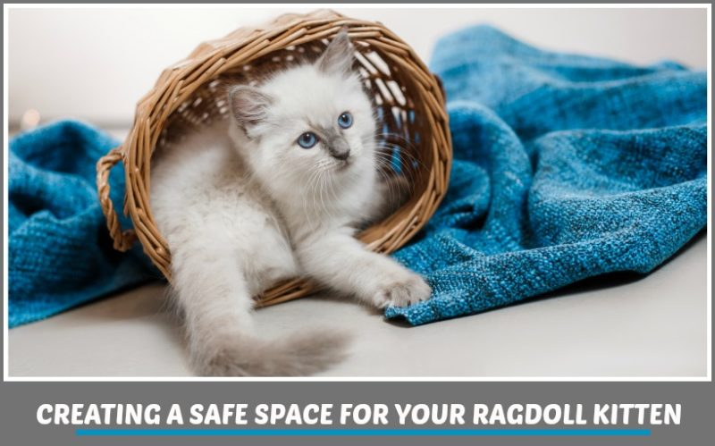 CREATING A SAFE SPACE FOR YOUR RAGDOLL KITTEN - BLUE POINT RAGDOLL KITTEN IN A BASKET