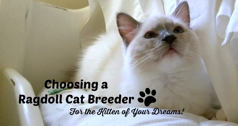 Small Ragdoll Kitten - Choosing a Ragdoll Cat Breeder For the Kitten of YOur Dreams