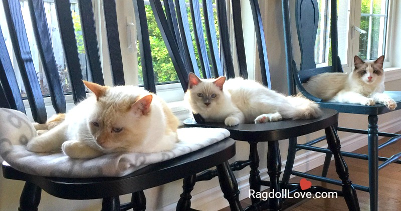 3 cats on chairs in a row Domestic shorthair and Ragdoll kittens