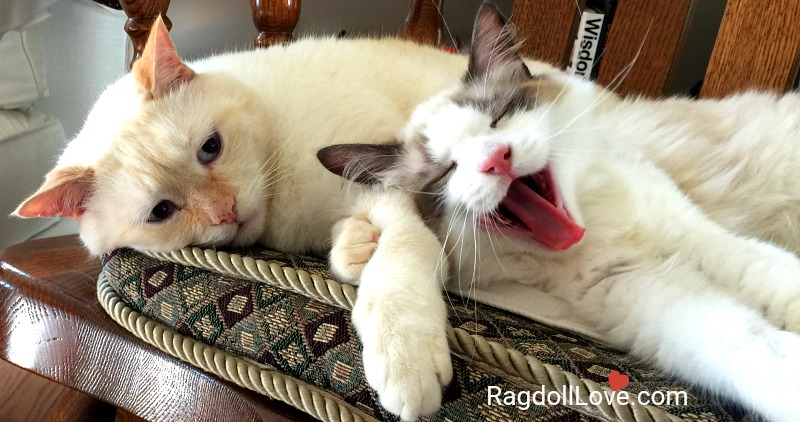 Ragdoll kitten yawning and domestic short hair cat on chair
