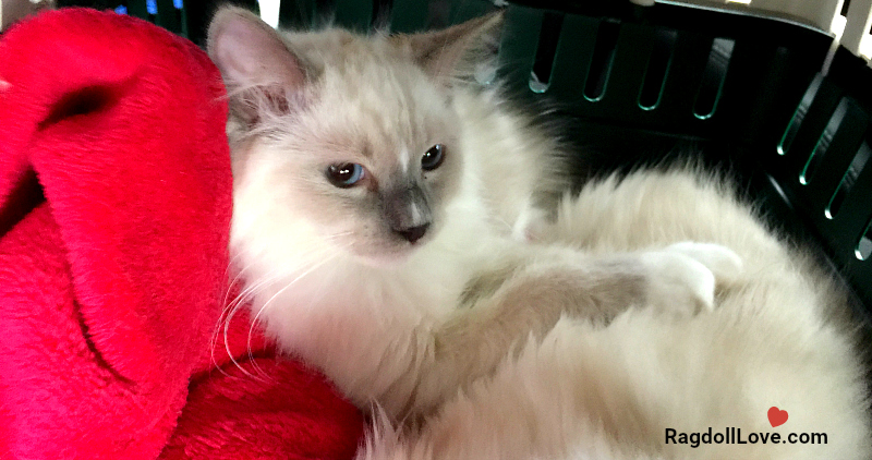 Blue Mitted Ragdoll Cat Duffy Travelling to his forever home