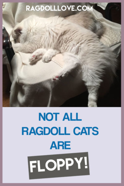 BLUE MITTED RAGDOLL CAT FLOPPING ON CHAIR - NOT ALL RAGDOLL CATS ARE FLOPPY