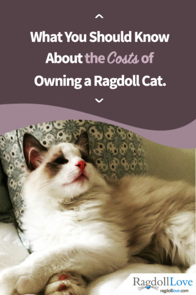 Seal Bicolour Ragdoll Kitten looking happy
