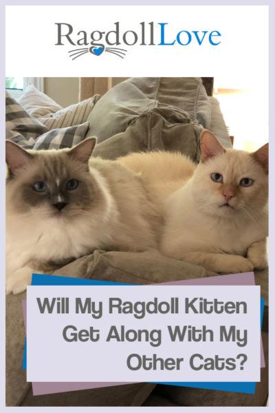 Ragdoll Kitten and domestic short hair cat