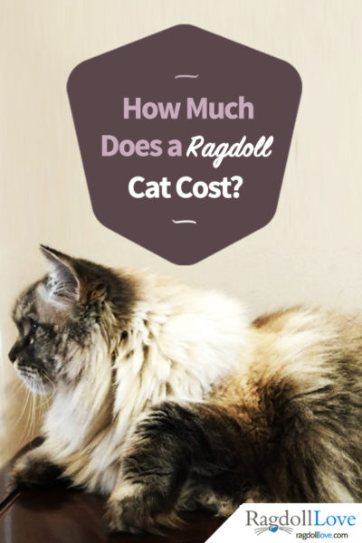 Large Seal Lynx Ragdoll Cat - How Much Does a Ragdoll Cat Cost