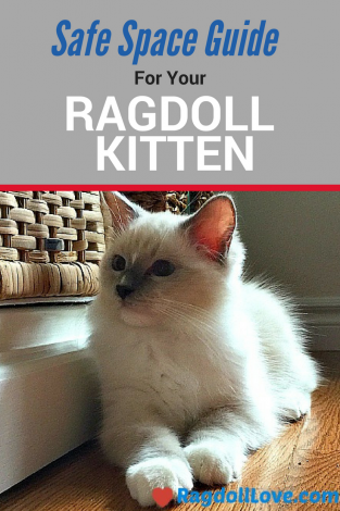 Ragdoll Kitten in Safe Space