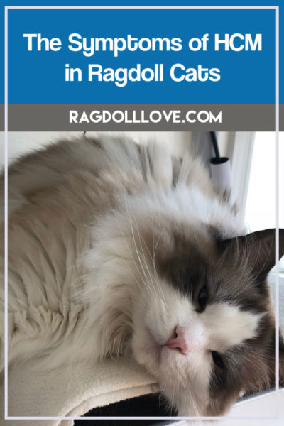 SEAL BICOLOUR RAGDOLL KITTEN LOOKING SWEET - THE SYMPTOMS OF HCM IN RAGDOLL CATS