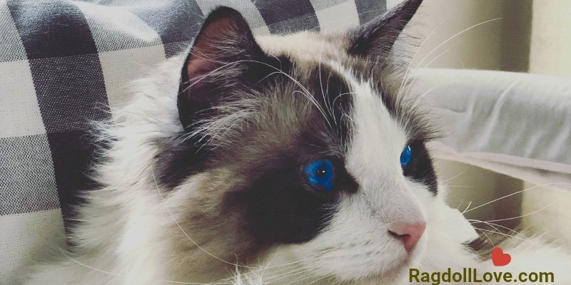 Seal Bicolour Purebred Male Ragdoll Cat Cameo Shot