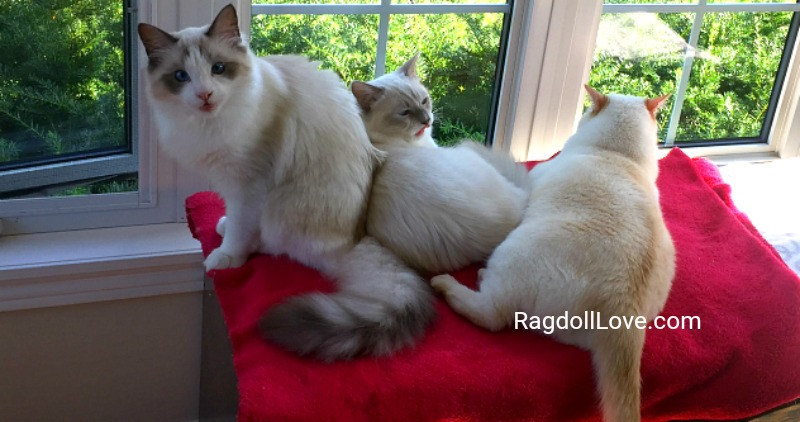 Ragdoll Kittens and Domestic Shorthair Cat together on red blanket