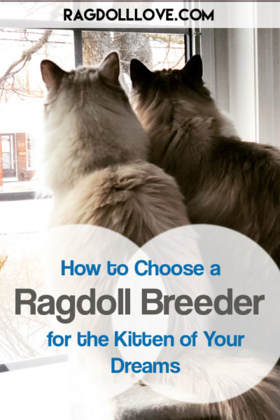 2 RAGDOLL CATS LOOKING OUT A WINDOW - HOW TO CHOOSE A RAGDOLL BREEDER FOR THE KITTEN OF YOUR DREAMS