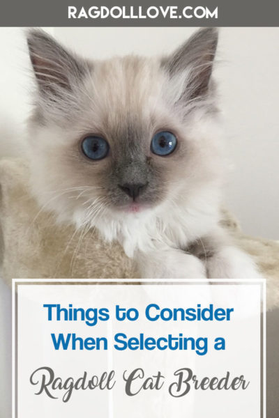 Blue Ragdoll Kitten With Big Blue Eyes - THINGS TO CONSIDER WHEN SELECTING A RAGDOLL CAT BREEDER