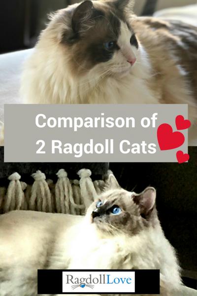Comparison of Two Ragdoll Cats