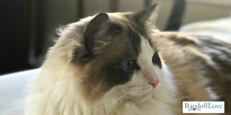 ZeeZee Ragdoll Cat Profile