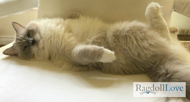 Blue Mitted Ragdoll Cat on his Back