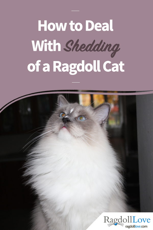 HOW TO DEAL WITH SHEDDING OF A RAGDOLL CAT