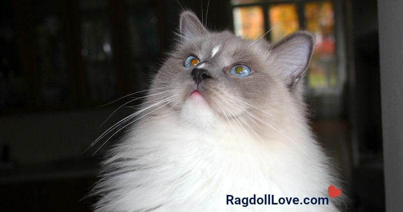 Blue Mitted Ragdoll Cat - Head