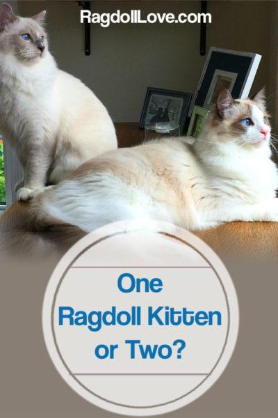 2 RAGDOLL KITTENS SITTING ON A TABLE - ONE RAGDOLL KITTEN OR TWO