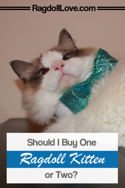 SEAL BICOLOUR RAGDOLL CAT SMILING WITH BLUE BOW TIE