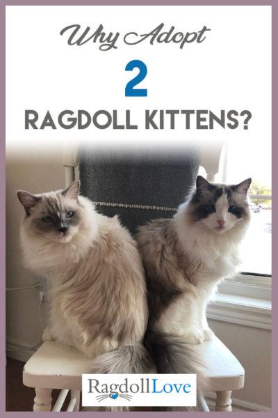 2 RAGDOLL CATS ON A CHAIR - WHY ADOPT 2 RAGDOLL KITTENS