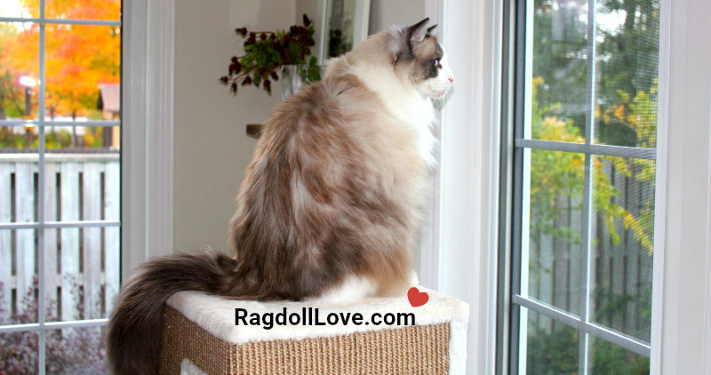 Seal Bicolour Ragdoll looking out a window