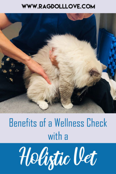 Ragdoll cat being examined by holistic vet